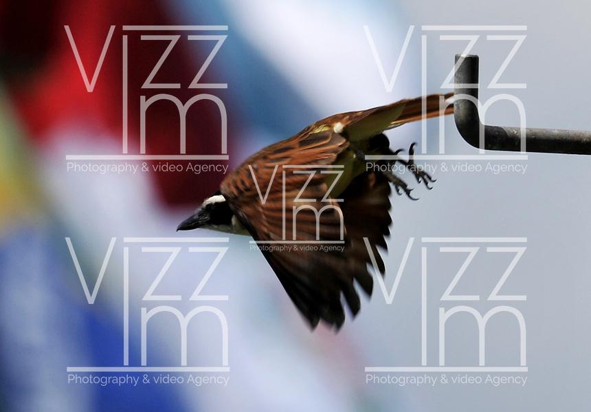 BUGA – COLOMBIA - 06-12 -2016: Bichofue Griton especie de ave presente en el Departamento del Valle del Cauca. / Bichofue Griton bird species present in Valle del Cauca Department. Photo: VizzorImage/ Luis Ramirez / Staff.