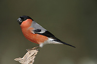 Bullfinch Pyrrhula pyrrhula L 16-17cm. Unobtrusive finch whose call and white rump are distinctive. Bill is stubby and dark. Sexes are separable. Adult male has a rosy-pink face, breast and belly. Back and nape are blue-grey and cap and tail are black. Note white wingbar on otherwise black wings. Adult female is similar but duller. Juvenile is similar to adult female but head is uniformly buffish brown. Voice Utters a soft piping call; pair sometimes duets. Song is quiet and seldom heard. Status Fairly common resident of woodlands, hedgerows and mature gardens.
