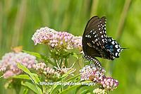 03029-01309 Spicebush Swallowtail butterfly (Papilio troilus) on Swamp Milkweed (Asclepias incarnata) Marion Co., IL
