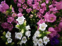Terra Cotta Campanula Champion flowers.
