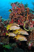 nr0925-D. Schoolmasters (Lutjanus apodus), a type of snapper, in front of colorful coral reef. Belize, Caribbean Sea.<br /> Photo Copyright &copy; Brandon Cole. All rights reserved worldwide.  www.brandoncole.com