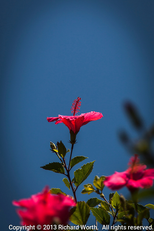 A hibiscus bloom points skyward.  A red flower, green leaves and blue sky background.