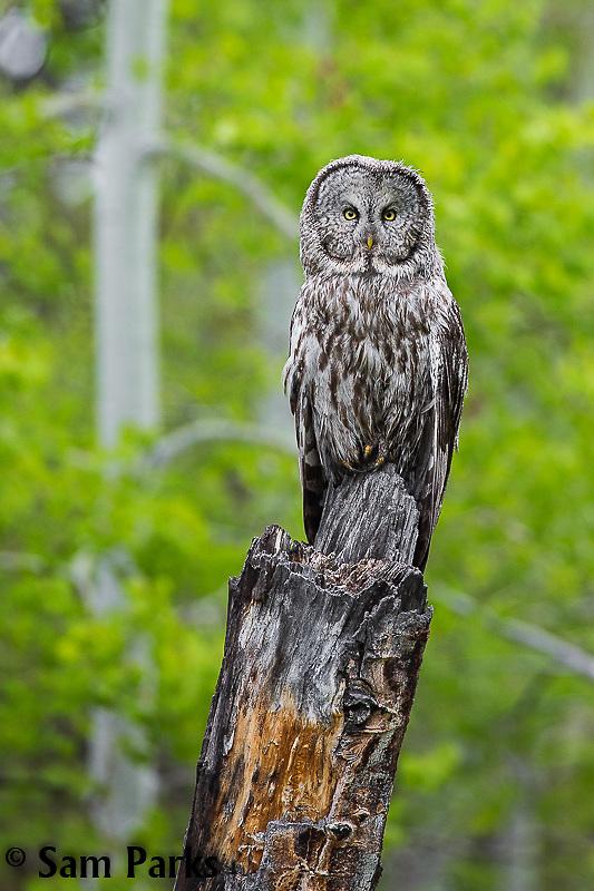 Great gray owl. Grand Teton National Park, Wyoming.