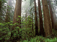 Redwoods and fog, Redwood Forest National Park.