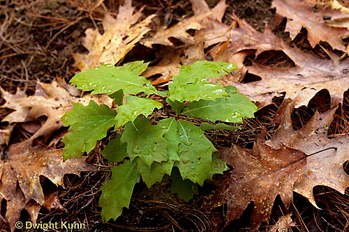 TT18-024a  White Oak - seedling, young tree - Quercus alba