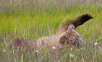 Brown bear cubs at Lake Clark National Park, Alaska