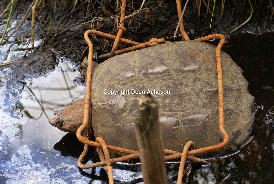 A Conibear No. 4 trap, set for beaver control, holds a non-targeted snapping turtle in its grasp June 14, 2008 in a wetland area in Arbor Vitae, WI. The turtle and trap were taken to the Northwoods Wildlife Center in Minocqua, WI. A wildlife technician there said the turtle had minor abrasions, but otherwise was in good condition. It was released back into the wild.