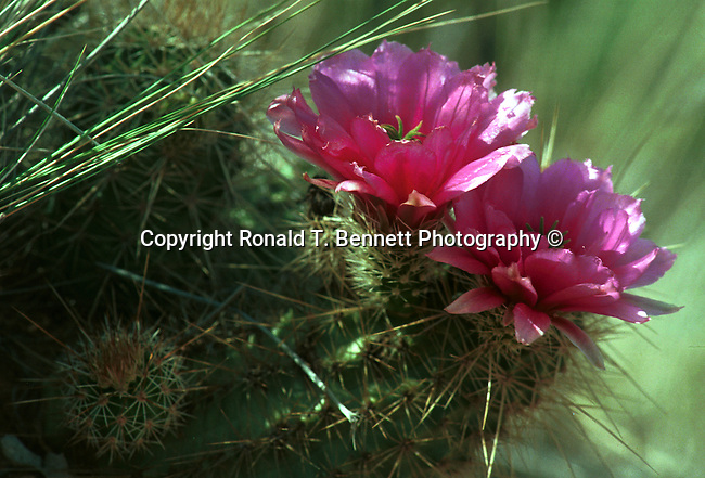 Flowering Hedgehog cactus Arizona, Arizona, State of Arizona, Southwest, desert, 48th State, Last of contiguous states, Phoenix, Scottsdale, Grand Canyon, Indian reservations, four corners, desert landscape, exrophyte, western United States, Southwest, Mountains, plateaus, ponderosa pines, Colorado River,  Mountain lion, Navajo Nation, No daylight savings time, Arizona Territory, Arizona, AR, Fine Art Photography by Ron Bennett, Fine Art, Fine Art photography, Art Photography, Copyright RonBennettPhotography.com ©