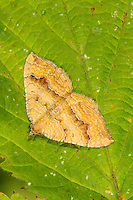 Yellow Shell Camptogramma bilineata Wingspan 20-24mm. An attractive moth that rests with wings spread flat. Flighty and easily disturbed from vegetation in daytime. Adult wing colour is a shade of yellow, with intricate concentric and jagged brown lines, and dark-bordered white lines. Flies June-August. Larva feeds on low-growing plants. Widespread and common.