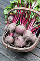 A trug of freshly harvested 'Action' beetroot.