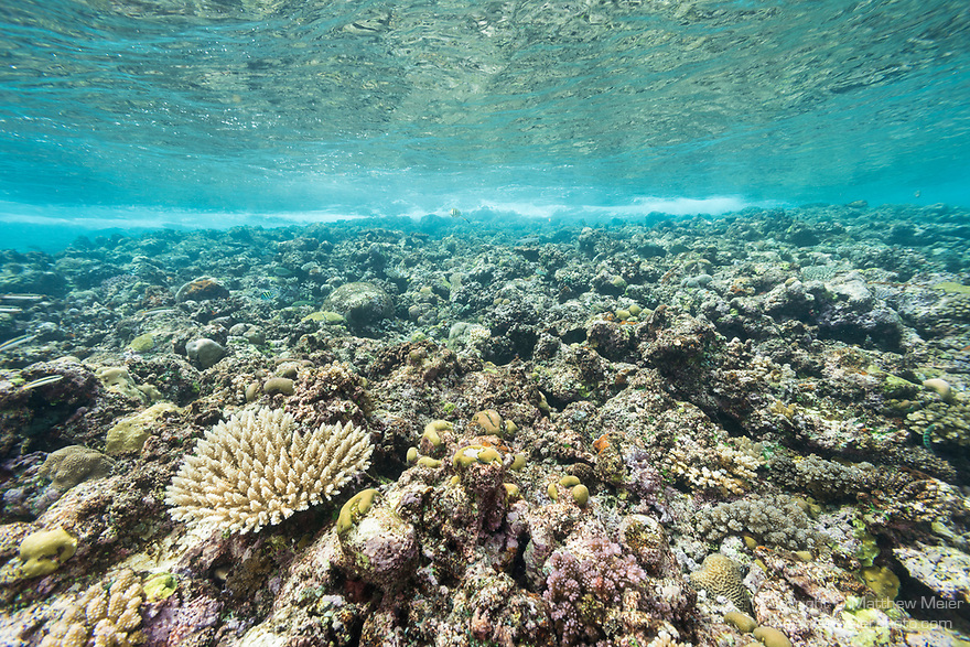 Munda, Western Province, Solomon Islands; hard corals growing in the shallow water against the shoreline