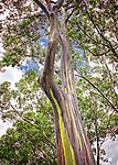 Dole Plantation Tree, Oahu, Hawaii