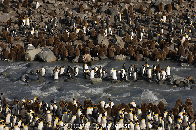 A king penguin colony at St. Andrews Bay on South Georgia Island.