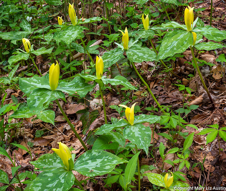 Great Smoky Mountains National Park, Tennessee: Yellow trillium (Trillium luteum) blooming in forest understory