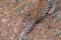 africa, Zambia, South Luangwa National Park,leopard in alert approaching the prey