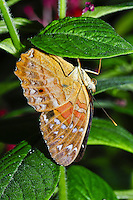 Common Crow, Euploea modesta