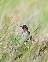 Adult seaside sparrow singing