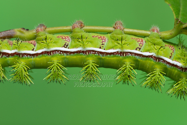 Io Moth (Automeris io), caterpillar eating, Hill Country, Central Texas, USA
