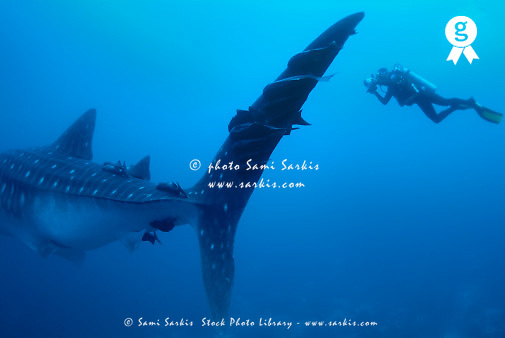 Diver with whale shark (Rhincodon typus), underwater view (Licence this image exclusively with Getty: http://www.gettyimages.com/detail/200476775-001 )