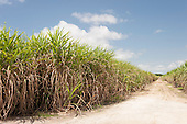 Alagoas State, Brazil. Dirt road through sugar cane fields.