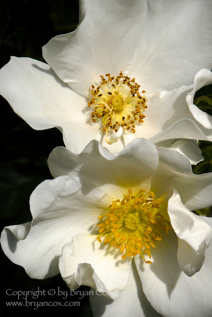 White roses, Portland Rose Garden, Oregon