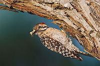 Ladder-backed Woodpecker, Picoides scalaris, female at nesting cavity with insect prey, Willacy County, Rio Grande Valley, Texas, USA, June 2006
