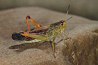 Gebirgsgrashüpfer, Gebirgs-Grashüpfer, Grashüpfer, Stauroderus scalaris, Chorthippus scalaris, Stauroderus morio, Large Mountain Grasshopper