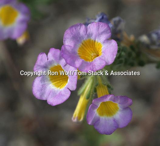 Twocolor Phacelia (Phacelia bicolor) a/k/a Trumpet Phacelia. South Tufa Area. Mono Lake Tufa State Reserve. Near Lee Vining, Mono Co., Calif.