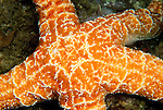Santa Cruz Island, Channel Islands National Park & National Marine Sanctuary, Channel Islands, California; Ochre Sea Star (Pisaster ochraceus),  ranges from Alaska to Baja California, radius to 10 inches (25 cm) , Copyright © Matthew Meier, matthewmeierphoto.com All Rights Reserved