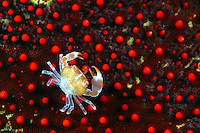 This juvinile guard crab [Trapezia sp] is pictured on a cushion starfish [Culcita novaeguineae]. Hawaii.<br />