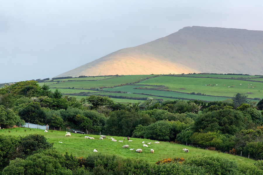 Sheep grazing in green pasture in the parish of Minard, near Lispole, Dingle Peninsula, County Kerry, Republic of Ireland
