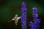 female rufous hummingbird in Marquam Nature Park in Portland, Oregon