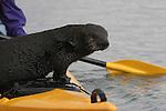 wild sea otter on kayak at Elkhorn Slough