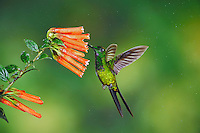 Empress Brilliant (Heliodoxa imperatrix), male feeding from flower,Mindo, Ecuador, Andes, South America