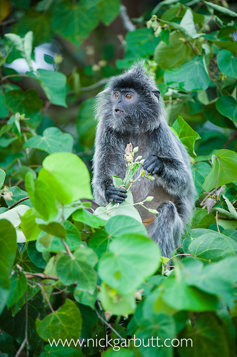 Silvered Langur or Silver Leaf Monkey (Presbytis cristata) feeding on flowers. Bako National Park, Sarawak, Borneo.