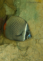 0512-1001  Collare Butterflyfish (Pakistan Butterflyfish), Chaetodon collare  © David Kuhn/Dwight Kuhn Photography