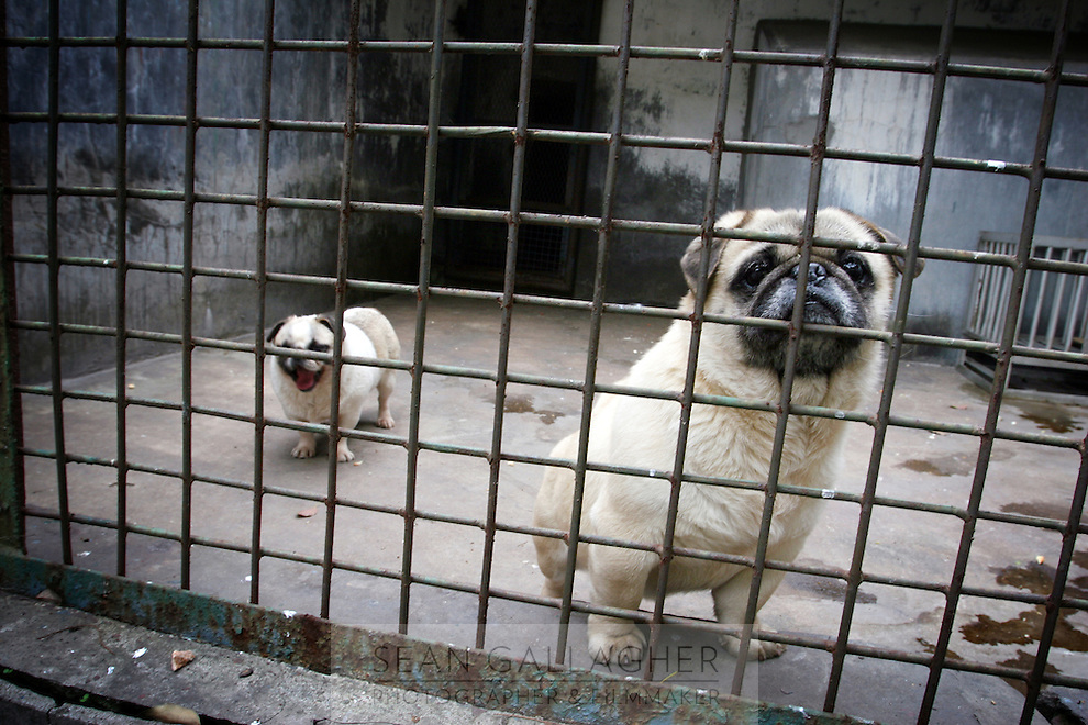 CHINA. Hubei Province. Wuhan. Dogs in an enclosure in Wuhan zoo. In many of China's 'second-tier' cities, away from the modern zoos in the megacities of Beijing and Shanghai, hide a plethora of smaller unknown zoos. In these zoos, what can only be described as animal abuse is subtly taking place in the form of deprivation of light, space, sanitation and social contact with other animals. Living in awful conditions, these animals spend there days entertaining tourists who seem oblivious to the animals' plight and squalid existence. 2008.