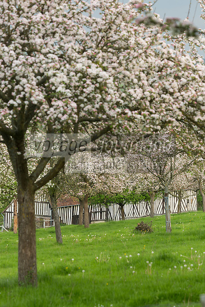 France, Calvados (14), Pays d' Auge, Heurtevent , verger de pommiers en fleurs et ferme // France, Calvados, Pays d' Auge, Heurtevent, apple orchard in blossom and farm