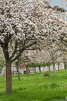 France, Calvados (14), Pays d' Auge, Heurtevent , verger de pommiers en fleurs et ferme // France, Calvados, Pays d' Auge, Heurtevent, apple orchard in blossom and farm