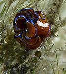Leech Headshield slug, Chelidonura hirundinina, opisthobranchia