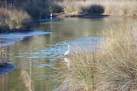 White Crane on Miflin Creek near Foley Alabama on the Gulf Coast