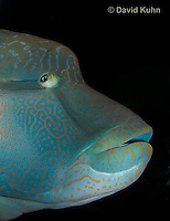0514-1006  Humphead Wrasse (Giant Wrasse or Napoleon wrasse), Cheilinus undulatus  © David Kuhn/Dwight Kuhn Photography