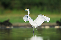 Great Egret (Ardea alba), adult wings spread, Dinero, Lake Corpus Christi, South Texas, USA