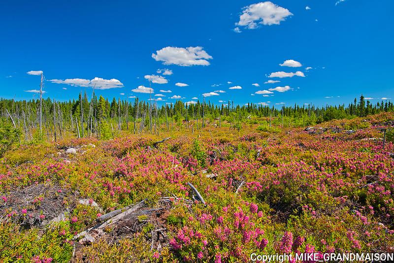 Bog laurel (Kalmia sp) blossoms in burnt over forest<br /> Chibougameau<br />Chibougameau<br />Quebec<br />Canada