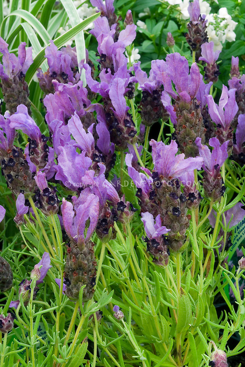 Lavandula stoechas 'Little Bee Lilac' = 'Florvendula Lilac' (Little Bee series)' Spanish lavender