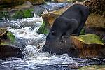 Canada, British Columbia, black bear (Ursus americanus)