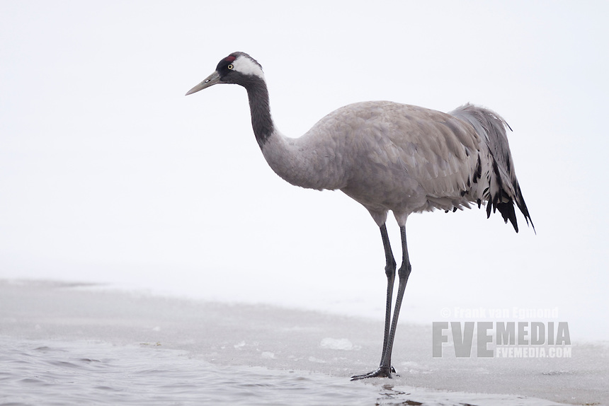 Common Crane on ice.