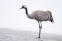 Common Crane on ice.
