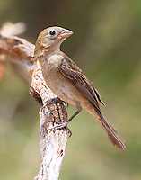 Female varied bunting
