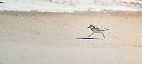 Plover running along the beach.